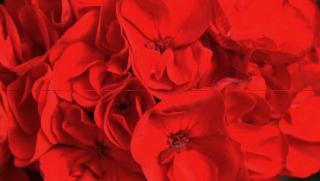 Red-flower 2