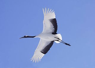 Japanese-crane-in-flight-large